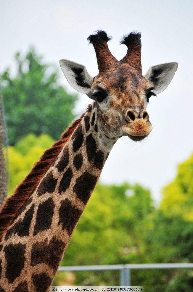 大眼睛 长颈鹿 动物园 植物 摄影