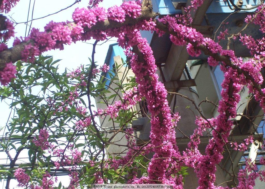 豆科紫荆花图片