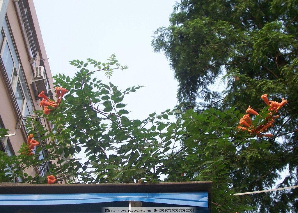 楼房 攀援植物 房顶 天空 蓝天 喇叭花 橘红 桔红 红色 紫葳科 绿叶图片