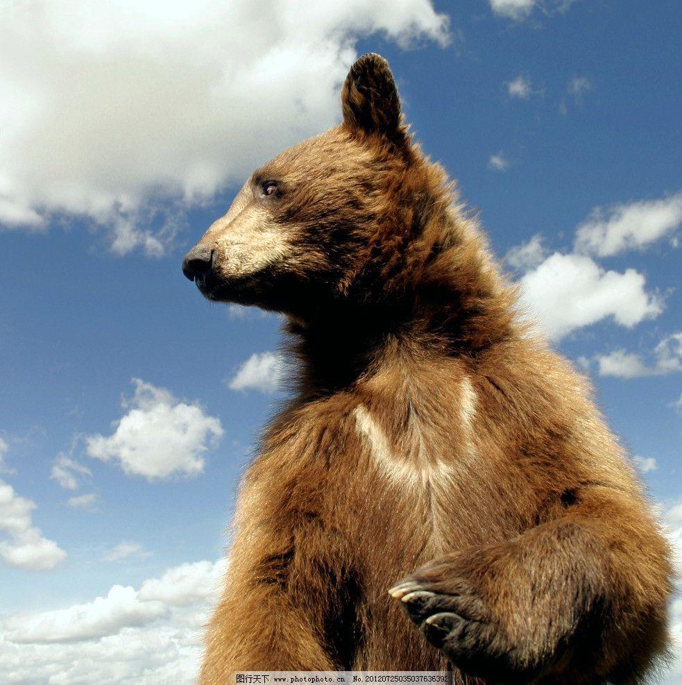 棕熊 棕毛 小熊 站立棕熊 棕熊特写 野生棕熊 珍惜动物 动物世界