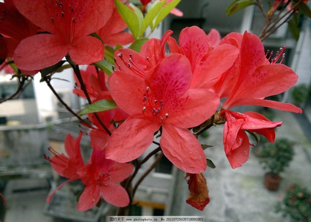 杜鹃 杜鹃花 红花 植物
