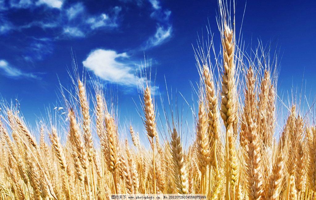 田园风光 小麦 大麦