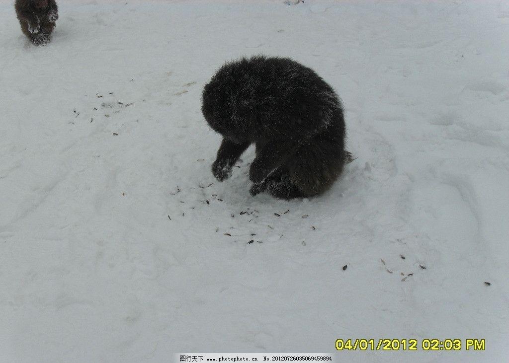 猴子 峨眉山 雪景 动物 自然风光 野生动物 生物世界 摄影
