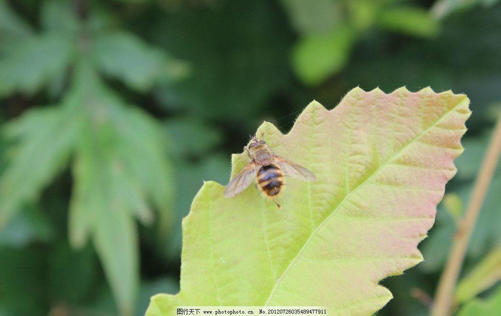 蜜蜂 动物 野生动物 昆虫 生物世界 摄影 72dpi jpg