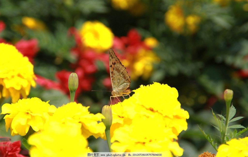 孔雀草 鲜花 黄色 植物 蝴蝶 动物 生态 花草 生物世界 摄影 72dpi