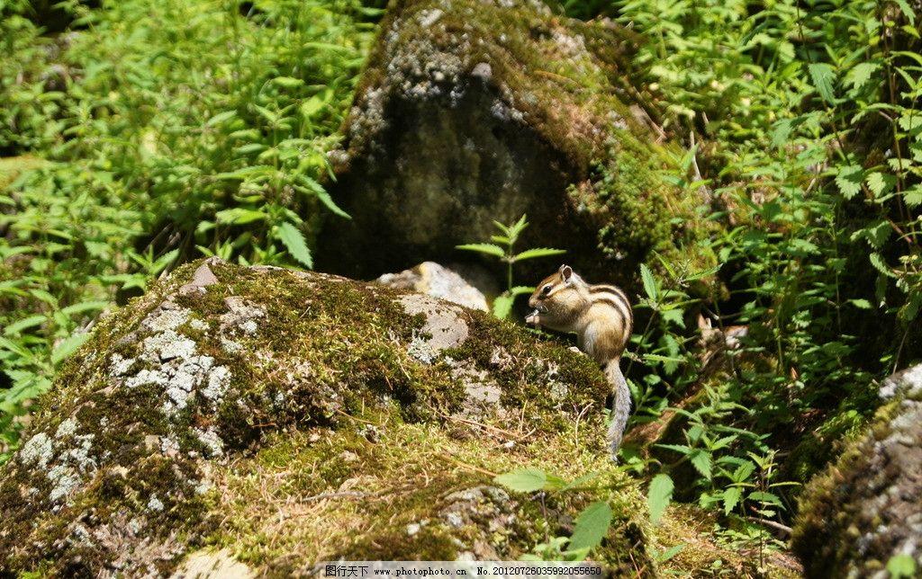 森林拾趣 松鼠 野生 小动物 生态 东北 抓拍 动物世界 家禽家畜 生物