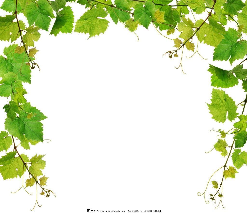葡萄叶 藤蔓 绿叶 叶子 图库 树木树叶 生物世界 摄影 300dpi jpg