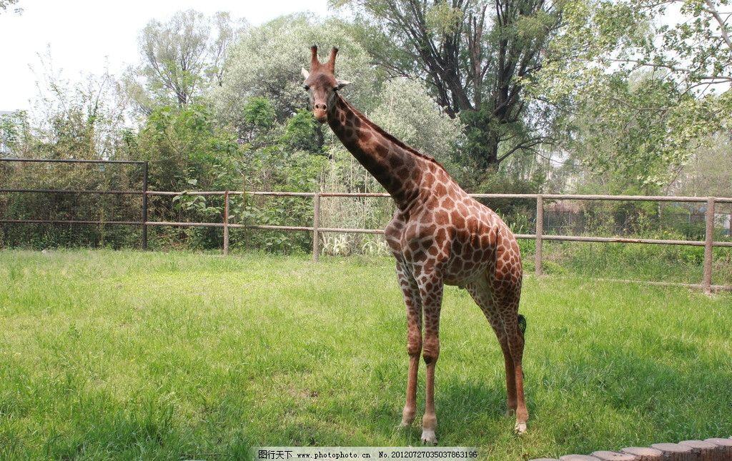 长颈鹿 动物 动物园 旅游 济南动物园 生命      草坪 高大 花纹 野生