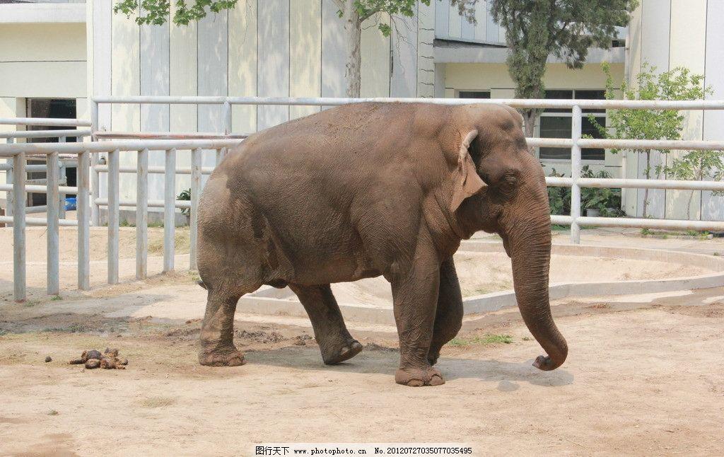 大象 动物 动物园 旅游 济南动物园      憨态 可爱 庞大 野生动物