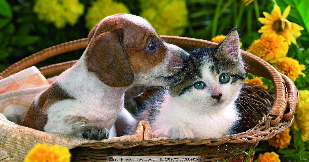可爱猫狗 小狗 小猫 猫咪 宠物 动物 家禽家畜 生物世界 摄影 300dpi