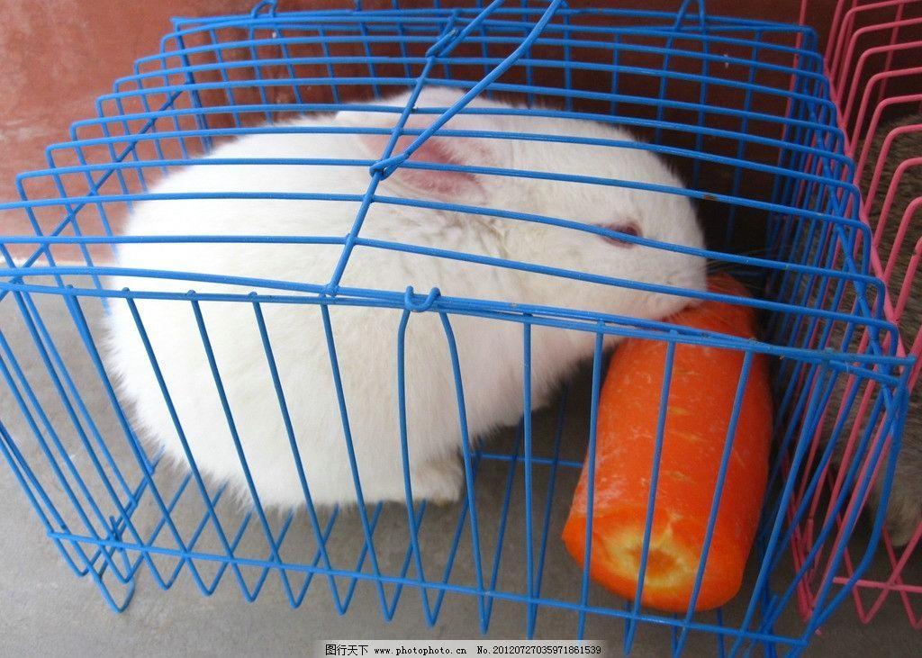 可爱兔子吃萝卜图片