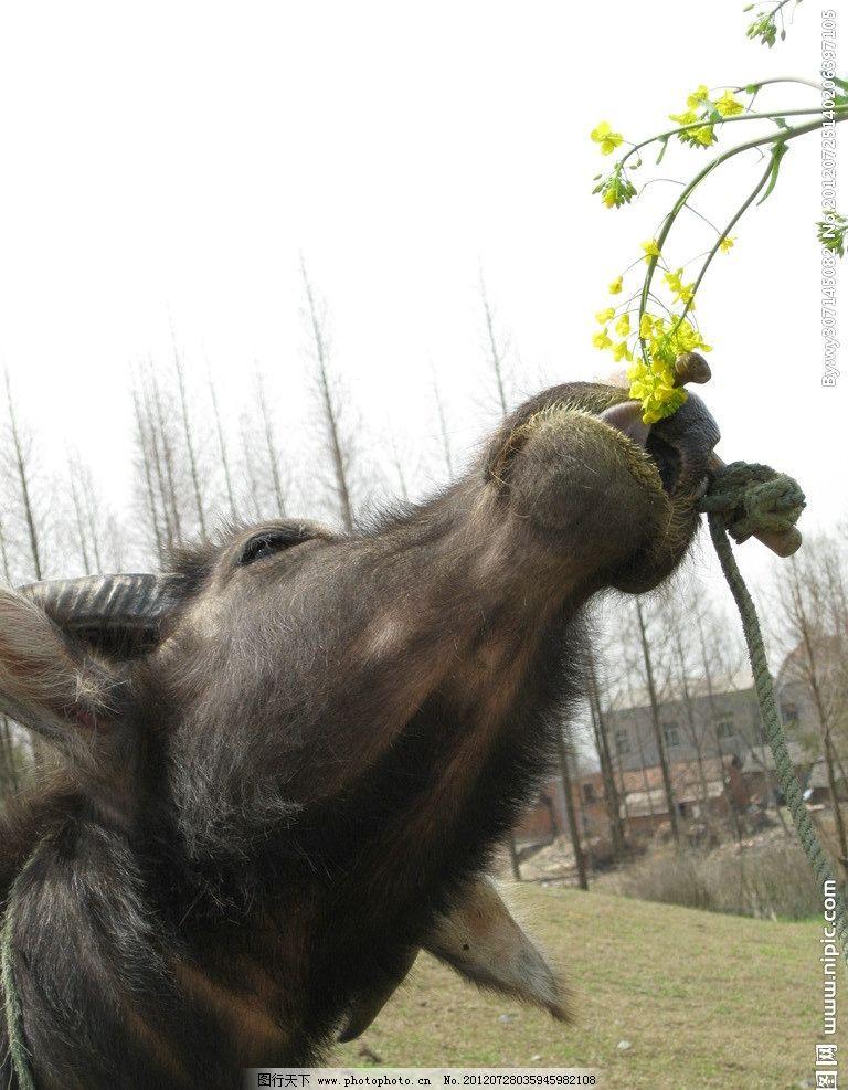 牛吃油菜 牛头 水牛 黄牛 动物吃饭 农村 摄影
