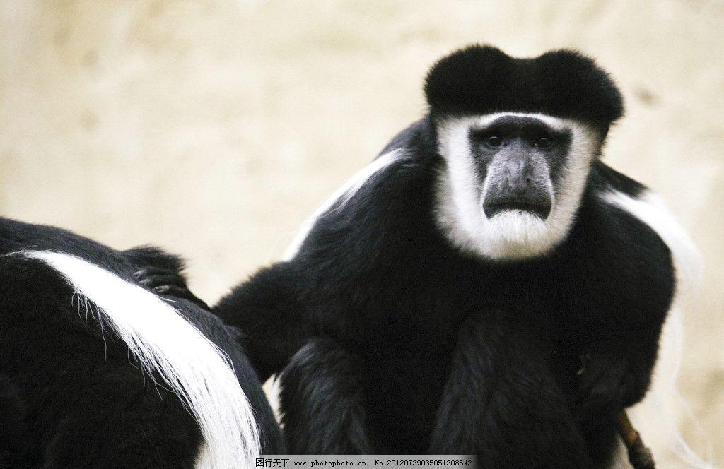 猩猩 黑白猩猩 猩猩特写 黑猫猩猩 大猩猩 野生猩猩 观赏动物 动物