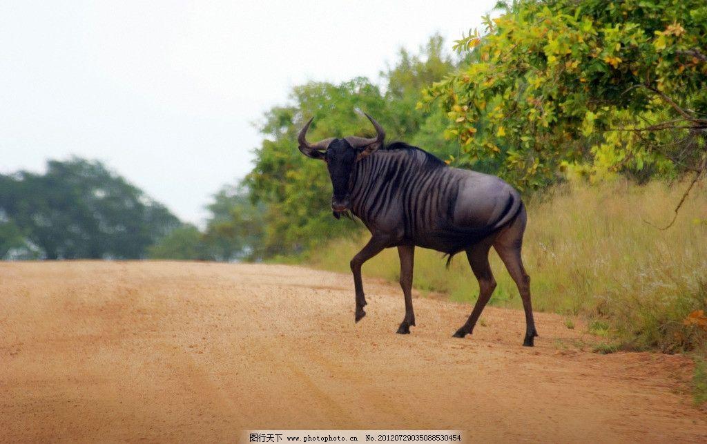 公牛 野牛 牛角 牛头 斗牛 乡间小路 野生动物园 春天草原 非洲草原