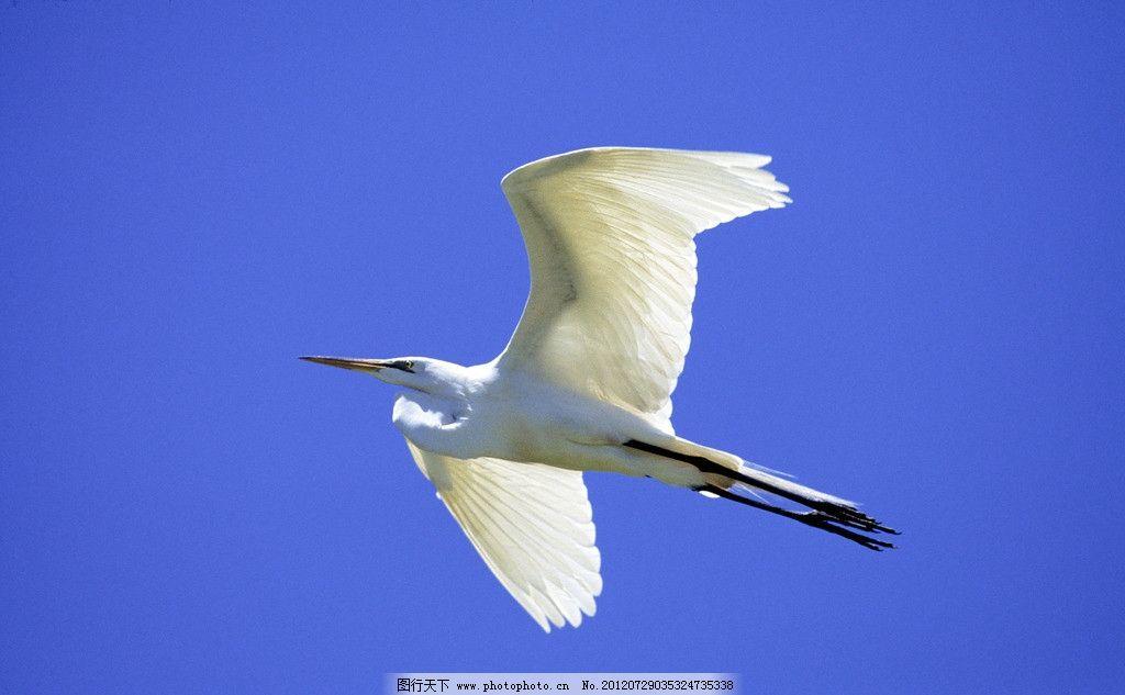 白鹭 白鹭展翅 白鹭飞翔 蓝天飞翔 海洋鸟类 动物世界 野生鸟类 鸟类