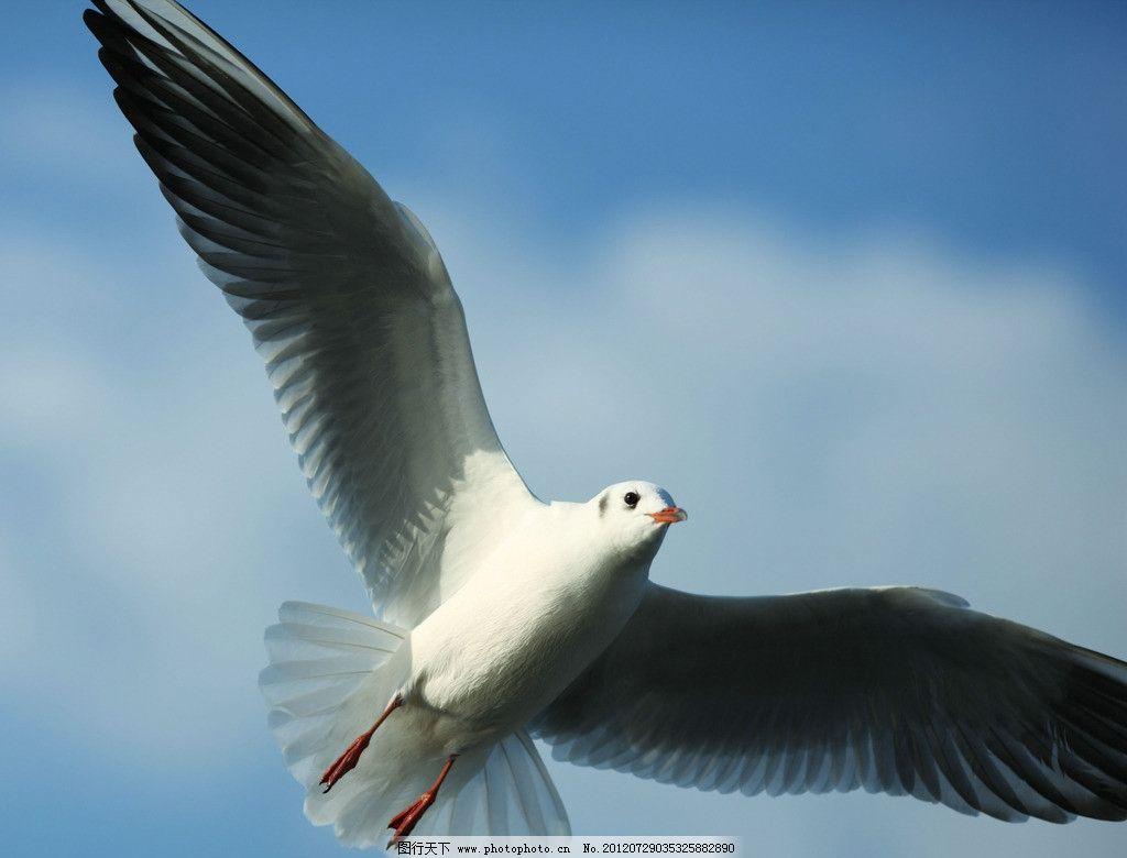 海鸥 自然风景 黑头鸥 飞翔 滑翔 展翅 蓝天 意境 唯美 背景 素材 jpg