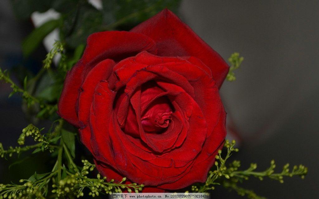 红玫瑰 玫瑰花 摄影图片