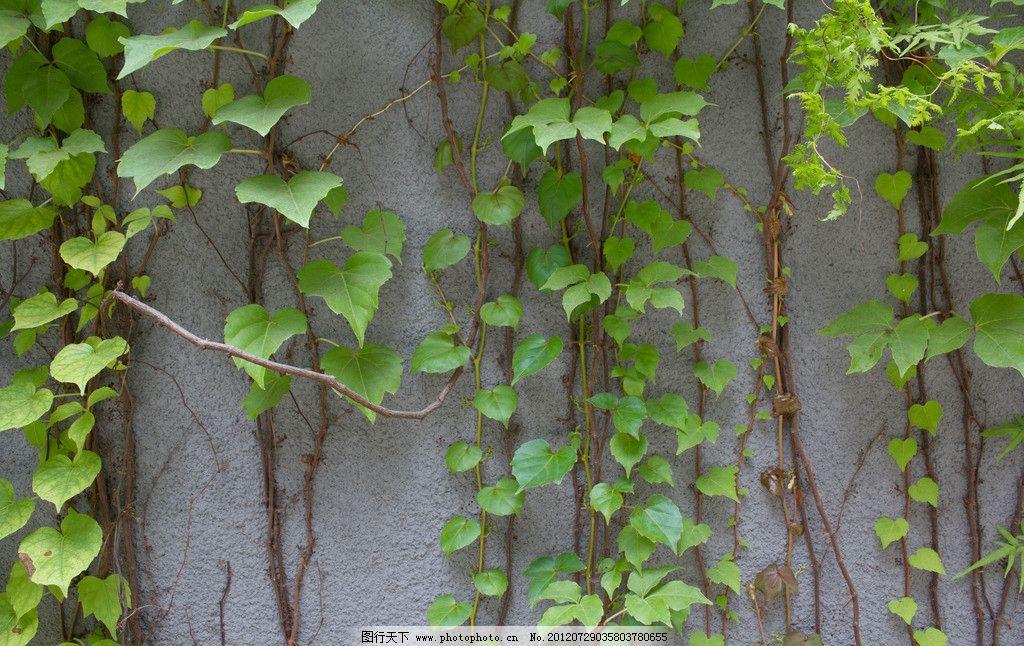 爬山虎 藤蔓 藤类植物 树木树叶 生物世界 摄影 300dpi jpg