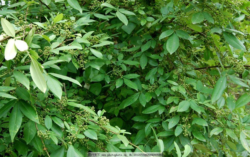 花椒树图片