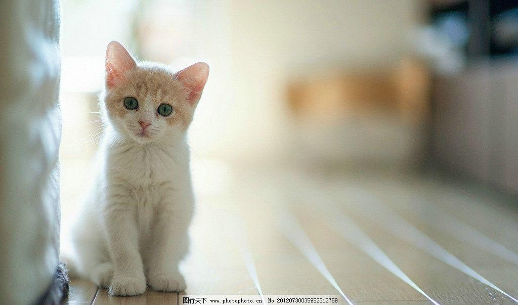 可爱小白猫图片