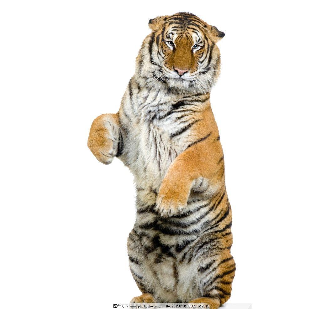 老虎 兽王 野兽 动物 野生动物 生物世界 摄影 300dpi jpg