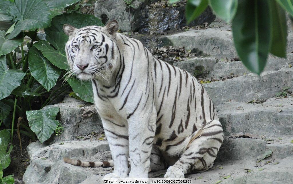 白虎 老虎 大老虎 动物园 野生动物 生物世界 摄影
