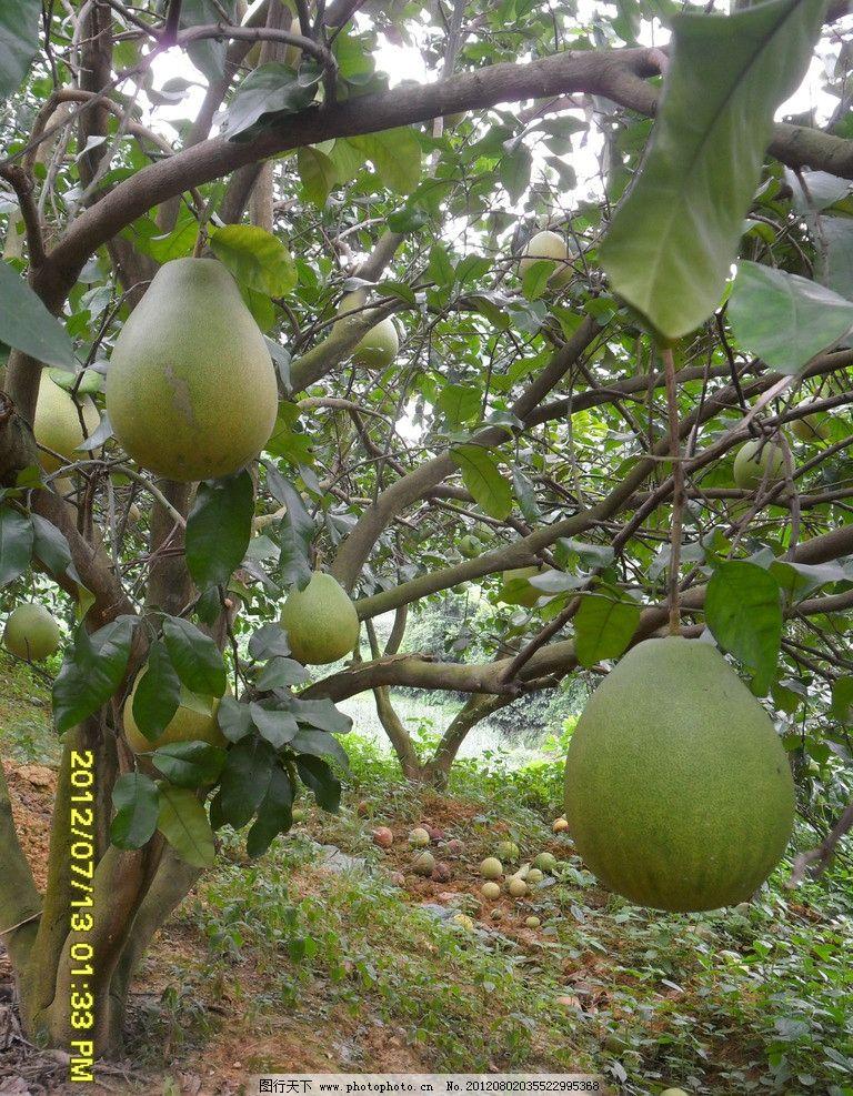 柚子树素材