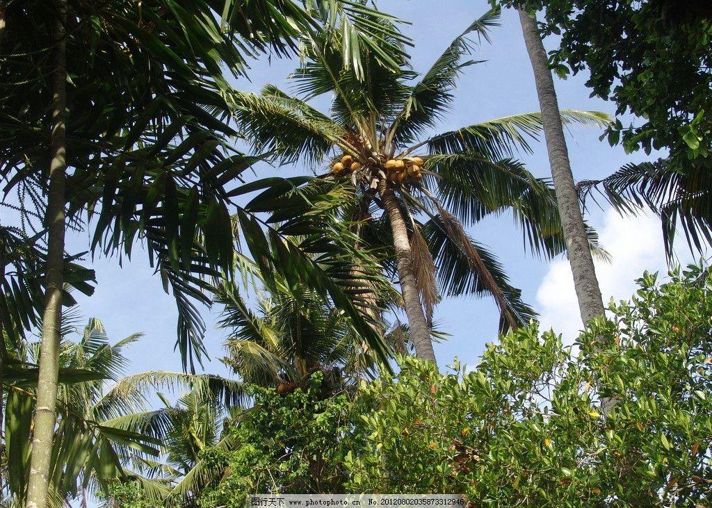 热带椰子树 热带雨林 椰子树 雨林 椰子 蓝天 树木 树木树叶 生物世界