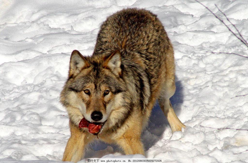 雪地野狼 野外 雪地 狼 肉食 野性 狼道 野生动物 生物世界 摄影 72