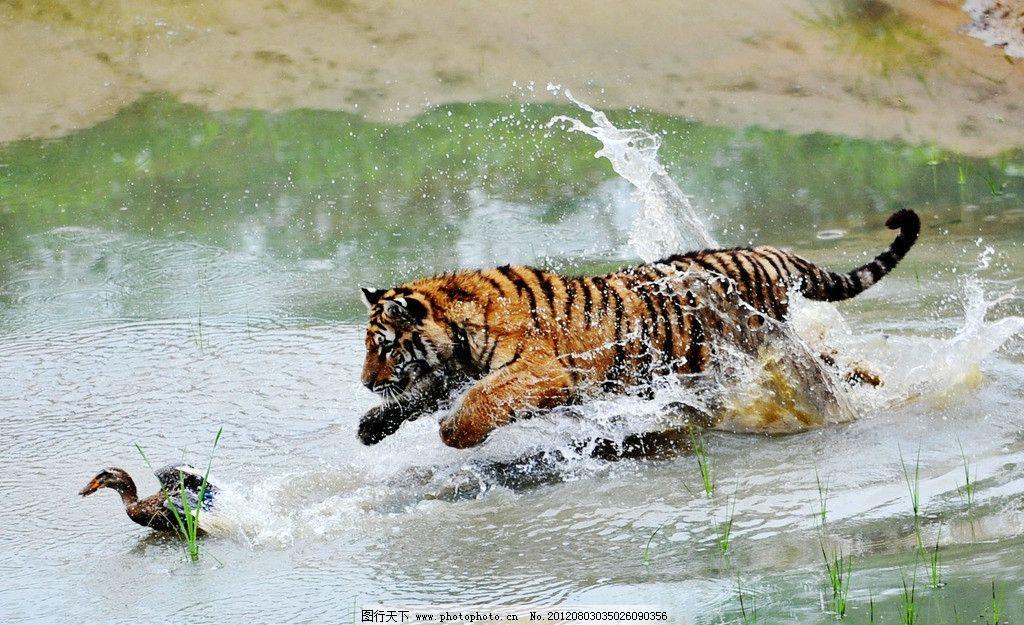 东北虎 老虎 猛虎扑食 野生动物 生物世界 摄影 300dpi jpg