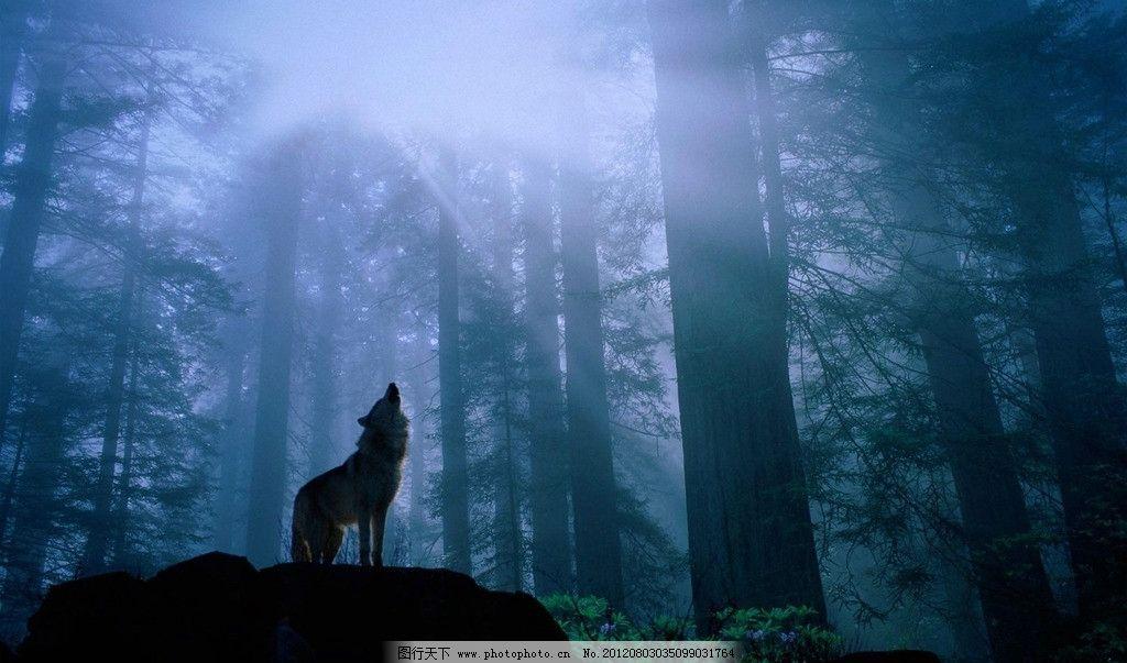 丛林狼嚎 丛林 野外 狼 嚎叫 森林 野狼 动物 晨光 野生动物 生物世界