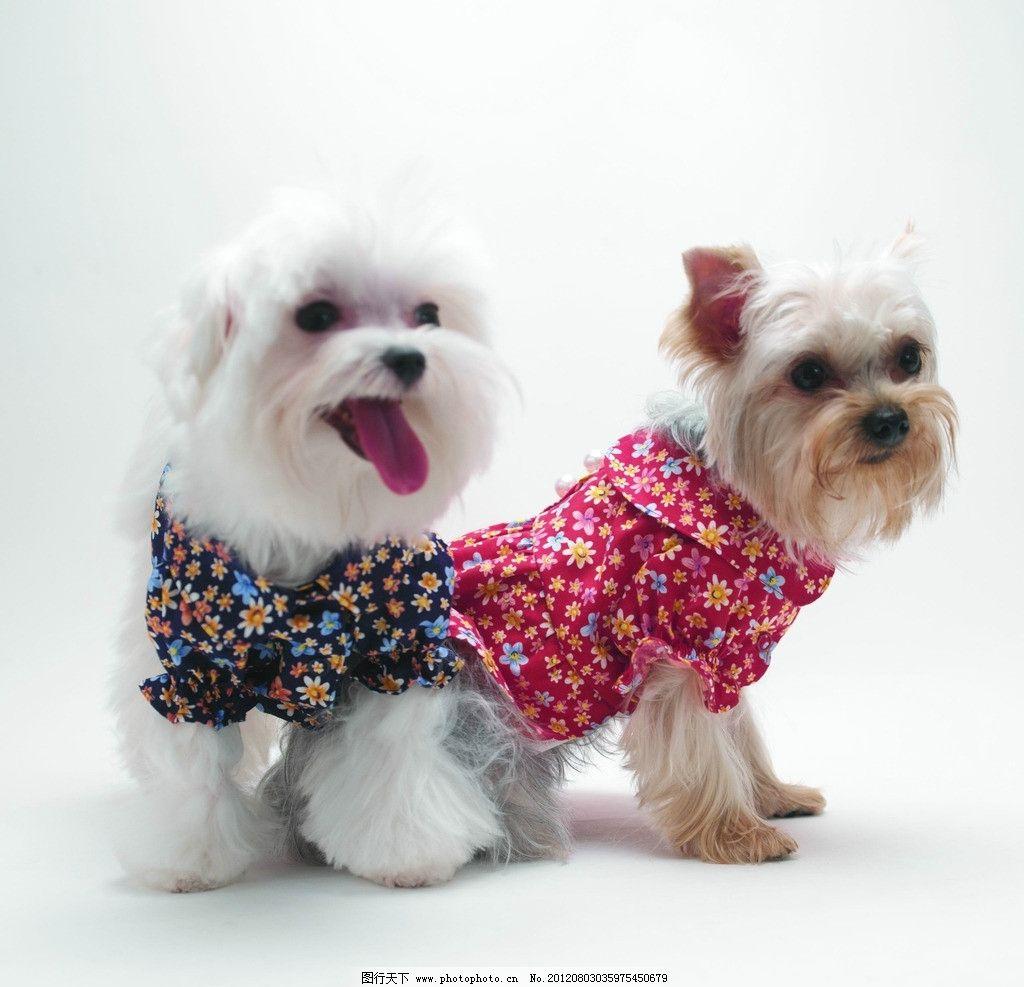 小狗 宠物 穿衣服的小狗 可爱 两只小狗 白色小狗 动物 家禽家畜 生物