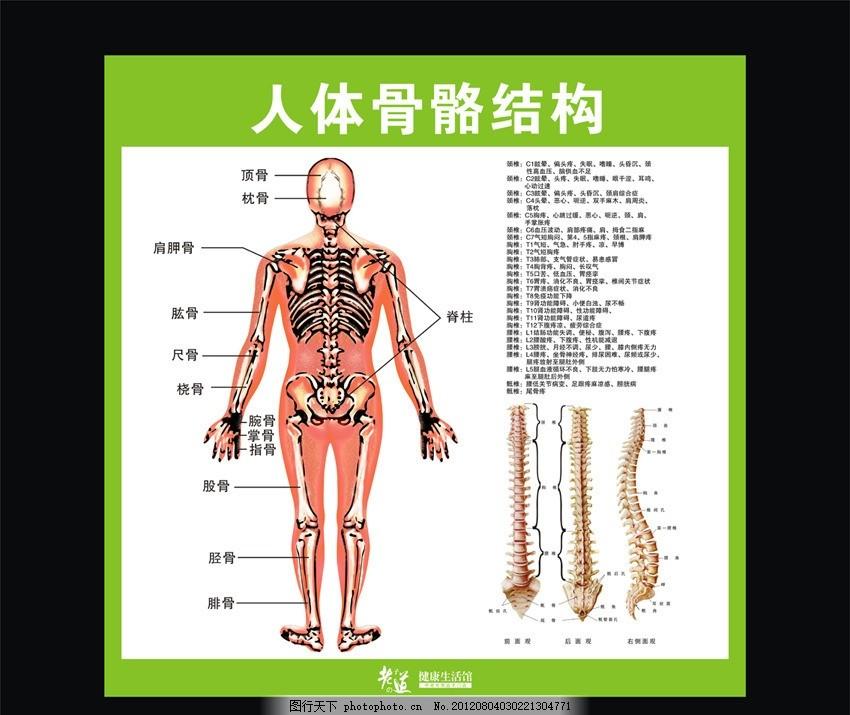 人体骨骼结构矢量源文件 药店画 骨髓 骨头 穴位 肩 人体图解