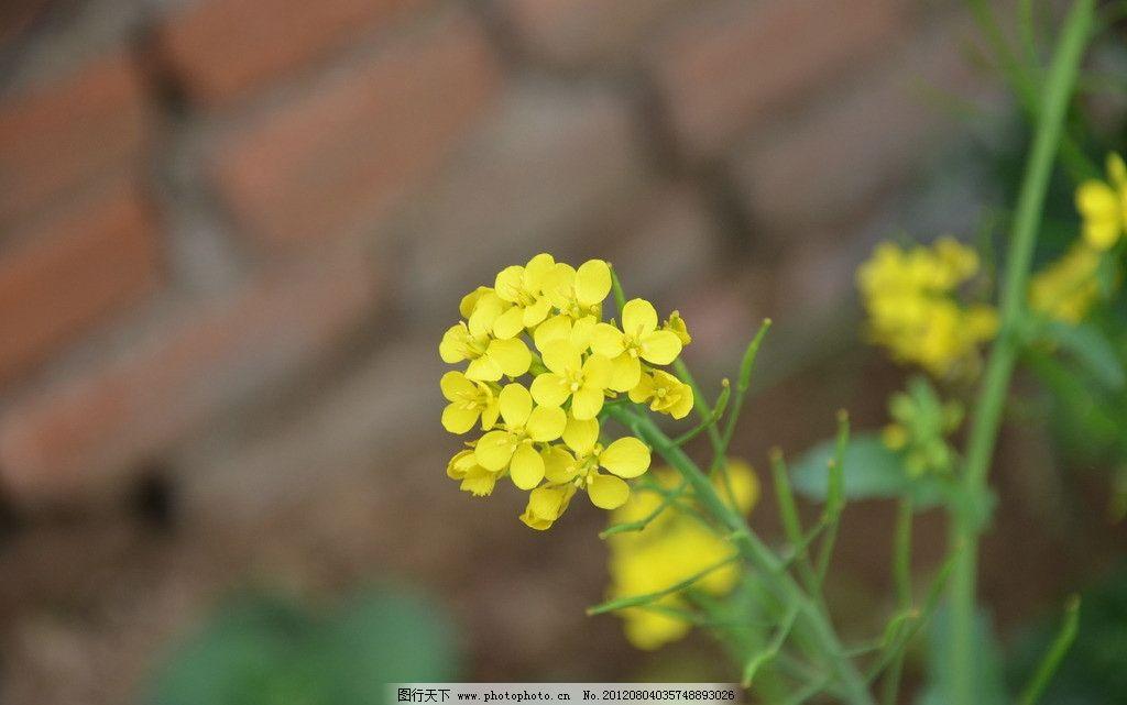油菜花 花卉 一年生 草本 蔬菜花 总状花序 花冠 黄色 花卉系列