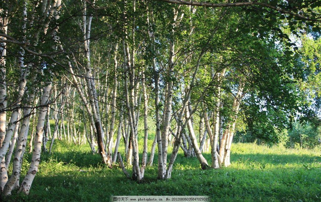 草原 白桦林 阳光 绿草 白桦树 树林 草地 树木树叶 生物世界 摄影 72