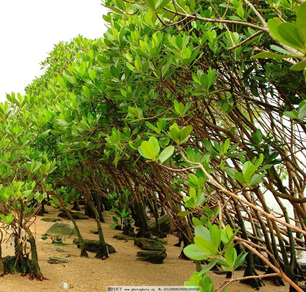 踏青深圳湾红树林图片