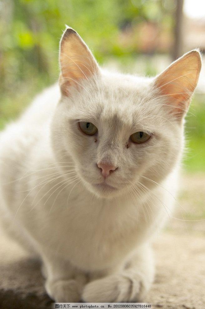 可爱小猫 可爱 小猫 猫咪 宠物 动物 家禽家畜宠物 家禽家畜 生物世界