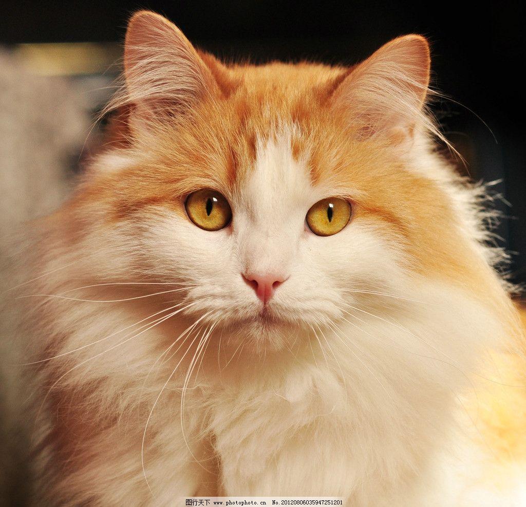 可爱小猫 猫咪 宠物 波斯猫 家禽家畜宠物 摄影