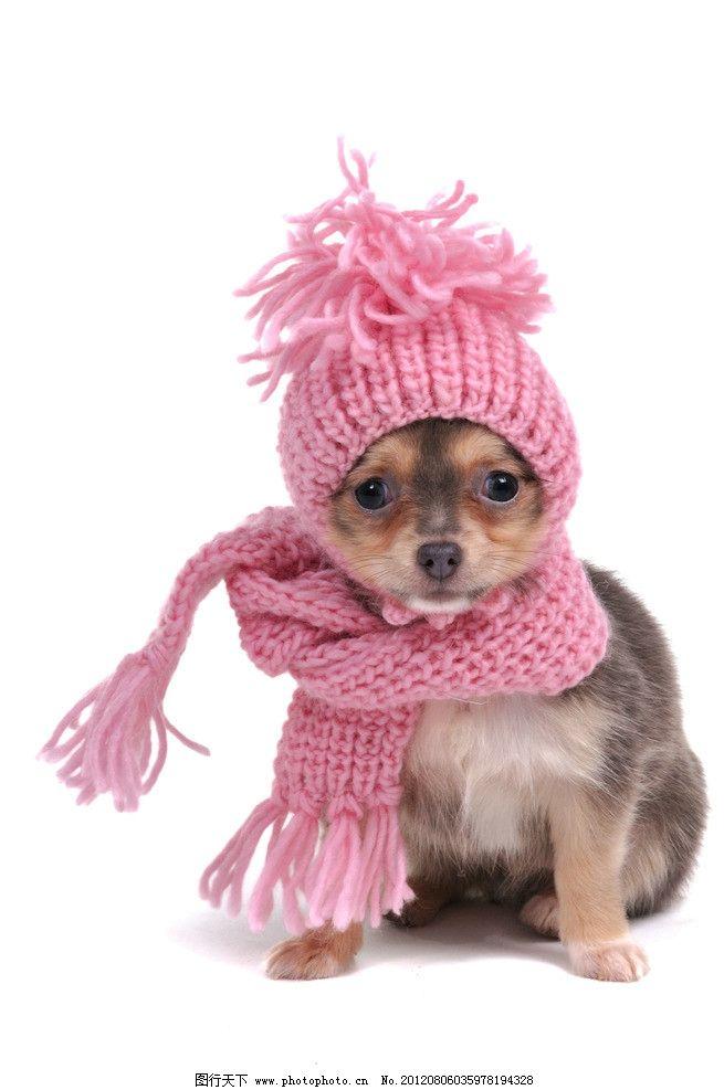 带围巾帽子 小狗 可爱狗狗 红色帽子 毛线围巾 可爱宠物 摄影