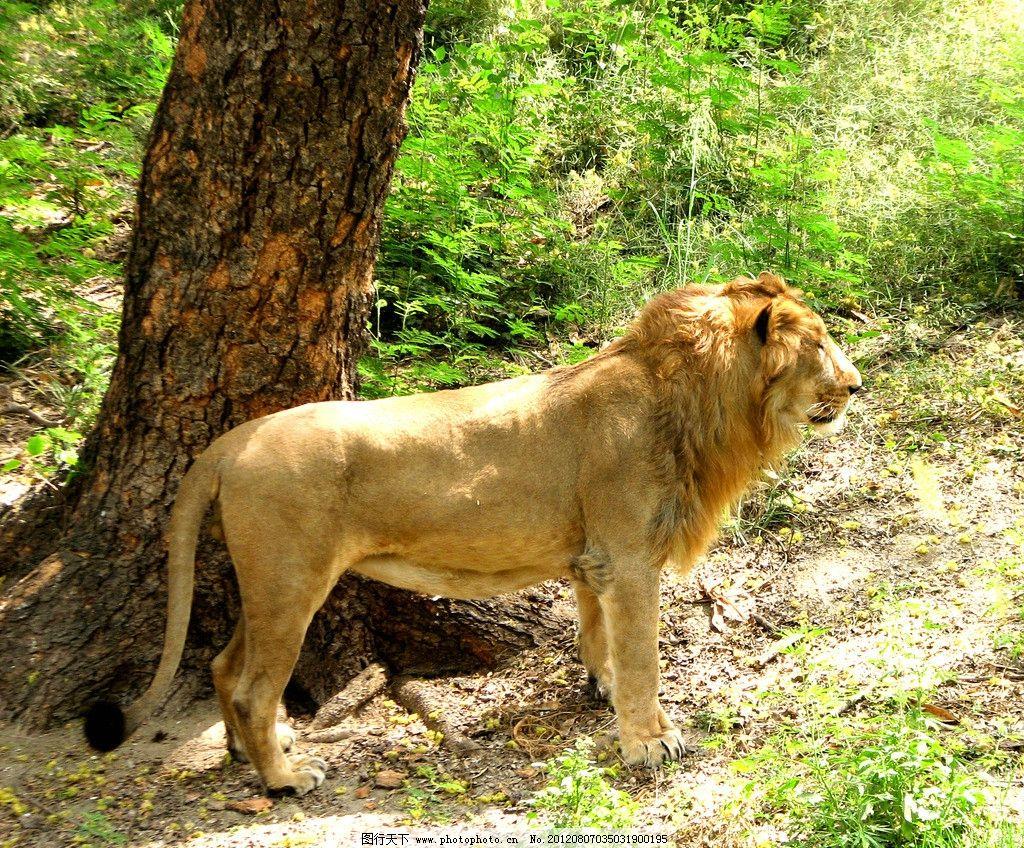 狮子动物 雄狮 动物园 野生动物 大树 树木 绿树 草地 小草