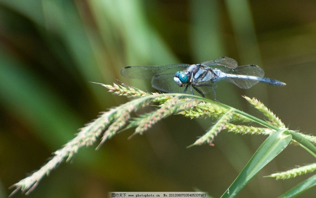 蜻蜓 黑白 昆虫 停歇 降落 生物世界 摄影 240dpi jpg