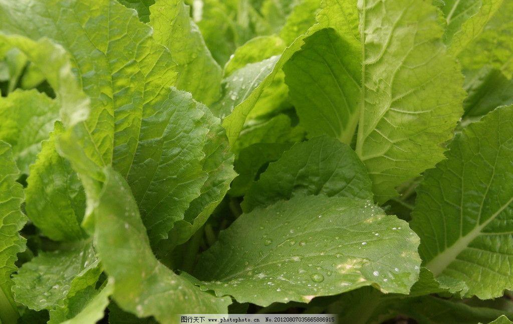 蔬菜特写 小白菜 露珠 绿叶 绿色 蔬菜大棚 新鲜 蔬菜 生物世界 摄影