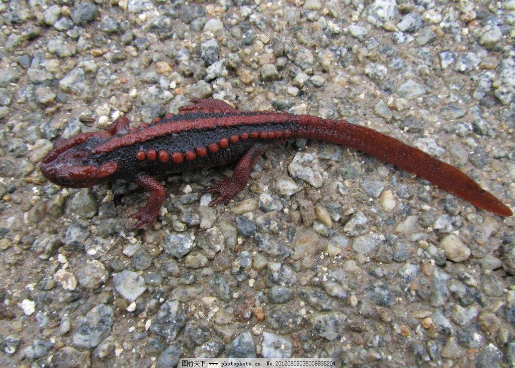 两栖动物 野生 四脚蛇 蜥蜴 红色 长尾巴 红尾巴 小动物 野生动物