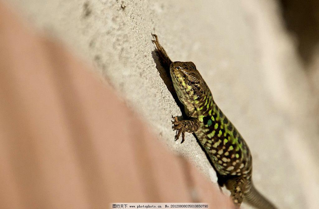 蜥蜴 壁虎 爬行动物 两栖动物 摄影