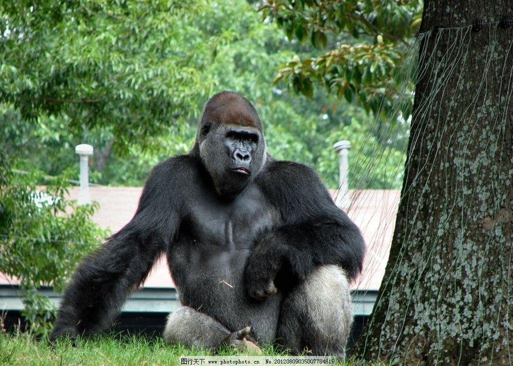 大猩猩 大型新 黑猩猩 金刚 野生动物 保护动物 猿猴 大树 草地