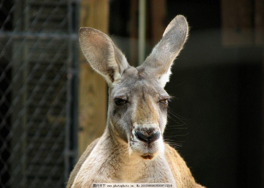 袋鼠 澳大利亚 野生动物 可爱 生物世界 摄影