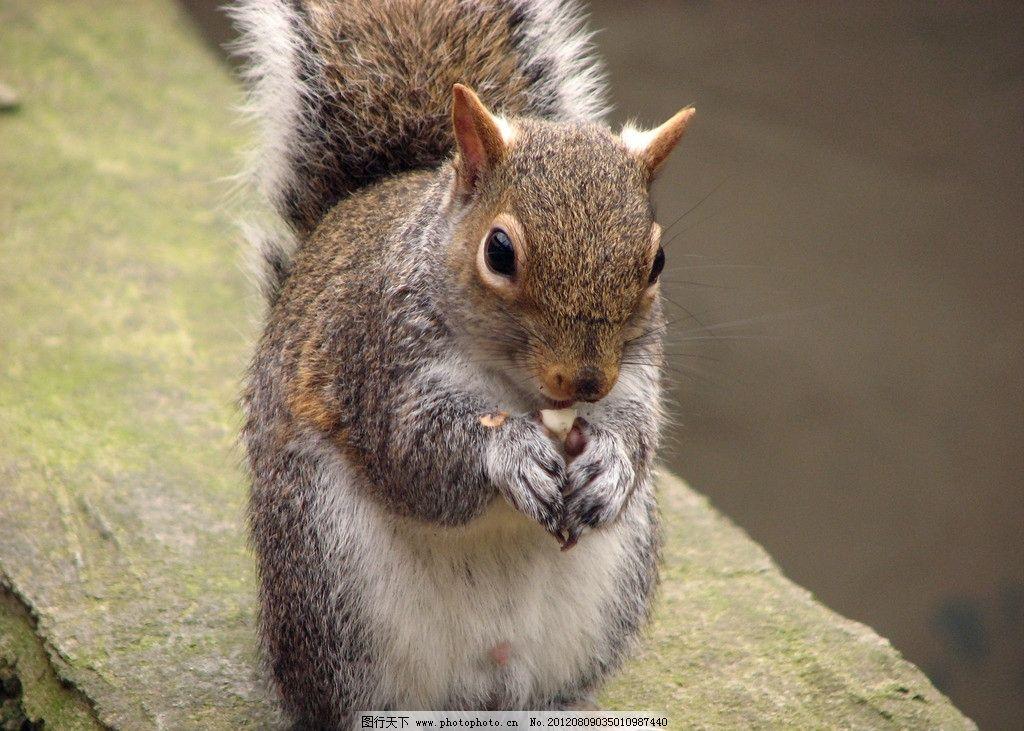 小松鼠 可爱 吃东西 野生动物 生物世界 摄影 360dpi jpg