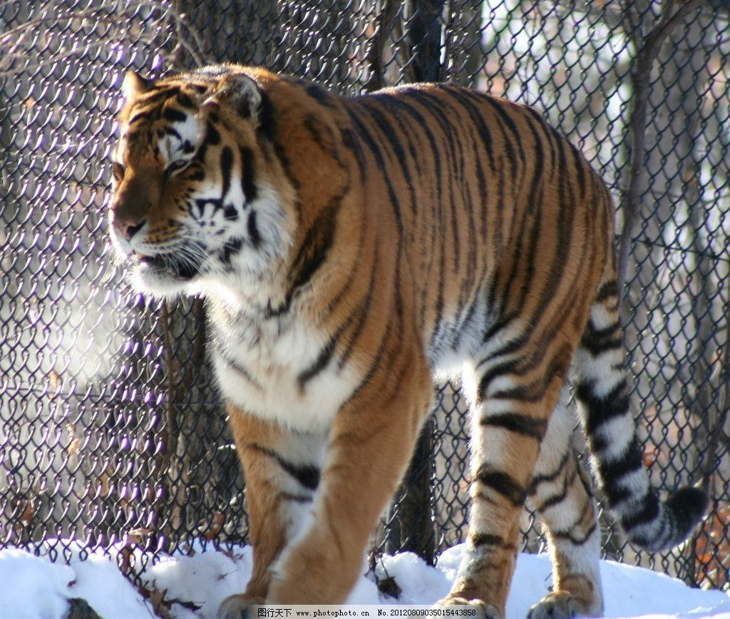 笼子里的东北虎 老虎 东北虎 华南虎 冬季 积雪 冬天 笼子 动物园