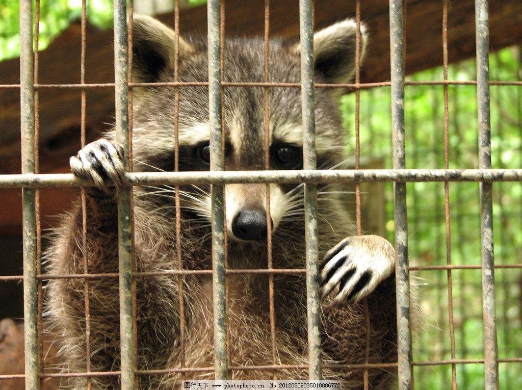 小浣熊 小熊猫 笼子 饲养 动物园 可爱 可怜 摄影