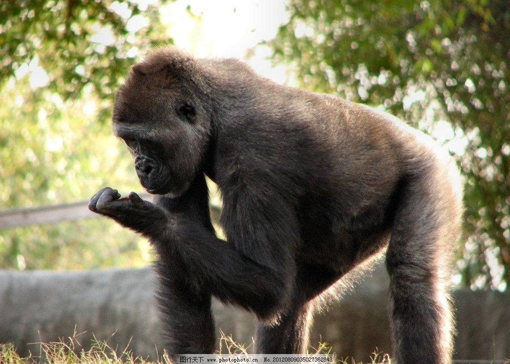 猩猩 黑猩猩 大猩猩 猴子 猿猴 野生动物 生物世界 摄影 360dpi jpg